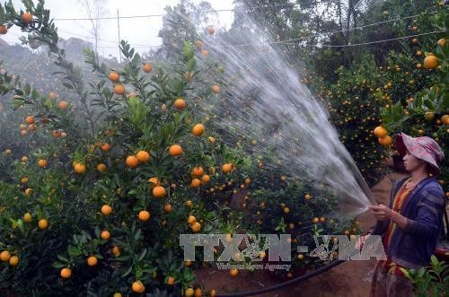 Sôi động thị trường hoa cây cảnh Văn Giang phục vụ Tết