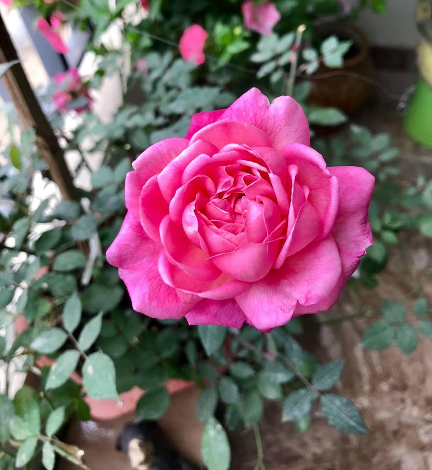 Mẹ là bông hồng thơm