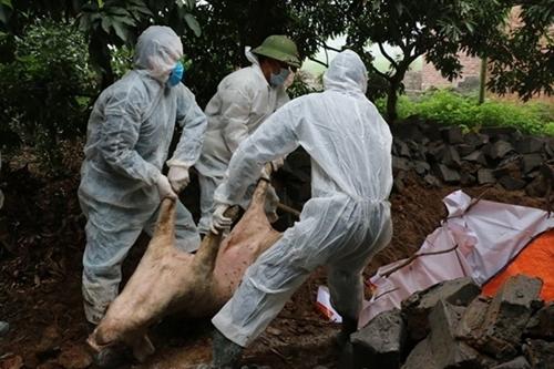Hưng Yên hỗ trợ 80 giá thị trường cho hộ có lợn bị dịch tả châu Phi phải tiêu hủy