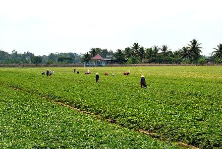Một mô hình trồng rau an toàn trên địa bàn TP Cần Thơ. (Ảnh: NS)