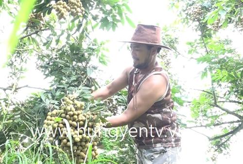 Một nông dân ở Kim Động thu trên 100 trăm triệu đồng từ nhãn sớm