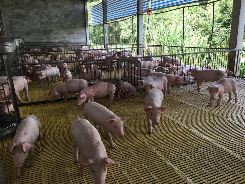 Khuyến khích chăn nuôi lợn theo hướng an toàn sinh học