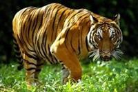 Loài hổ tại vùng Mekong trên bờ vực tuyệt chủng
