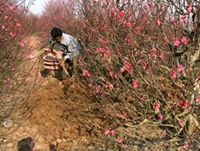 Người trồng hoa Hà Nội lại gặp khó vì thời tiết