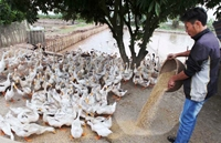 Chăn nuôi trong nước cần chủ động khắc phục khó khăn, hội nhập mạnh mẽ