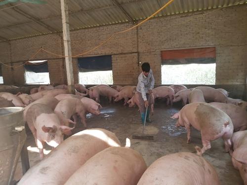 Tái đàn lợn cần có kiểm soát và áp dụng các biện pháp an toàn sinh học