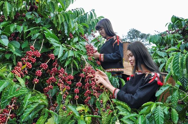 Đắk Lắk tiếp tục phát triển cà phê đặc sản