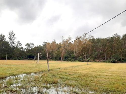 Cây chết khô hàng loạt ở dự án thép Hòa Phát- Dung Quất