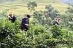 Phát triển chè Shan tuyết thành cây xóa đói giảm nghèo