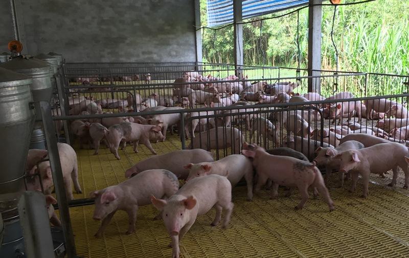 Đồng Nai 50 xã, phường lập thủ tục công bố hết dịch tả lợn châu Phi