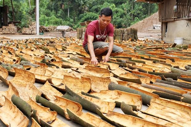 Yên Bái Người dân huyện Văn Yên hướng tới sản xuất quế hữu cơ