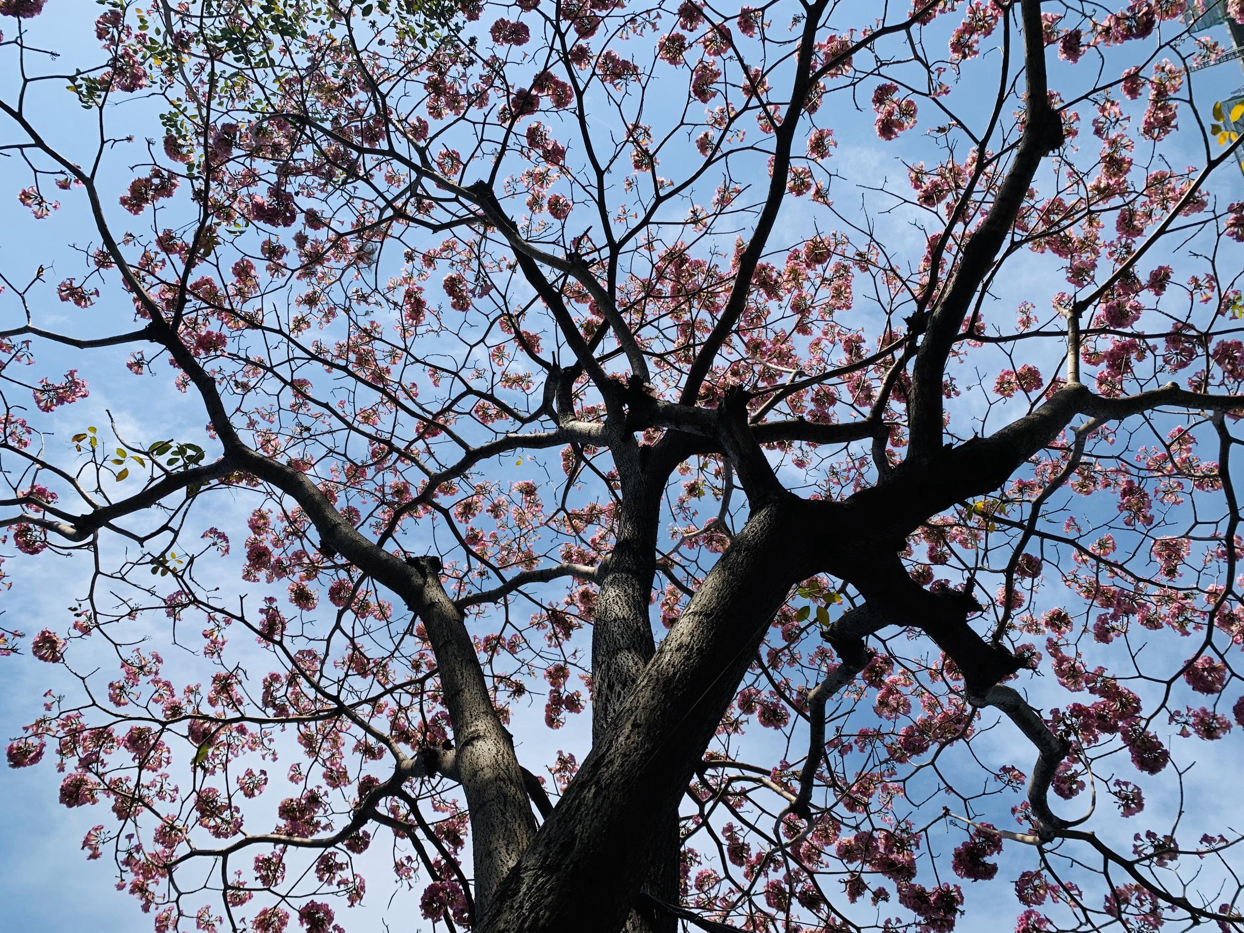 Hoa kèn hồng khoe sắc sớm