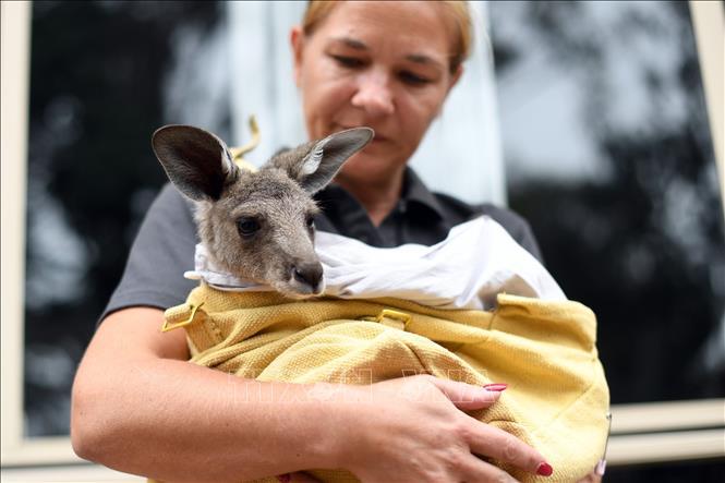 Hơn 100 loài động vật cần hỗ trợ sau cháy rừng ở Australia