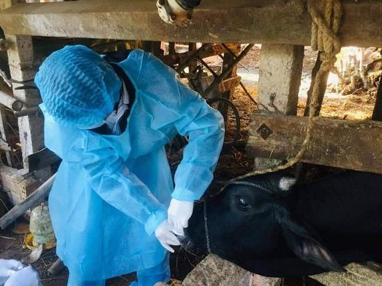 Đề nghị hỗ trợ 20 000 liều vắc xin lở mồm long móng cho tỉnh Quảng Ngãi