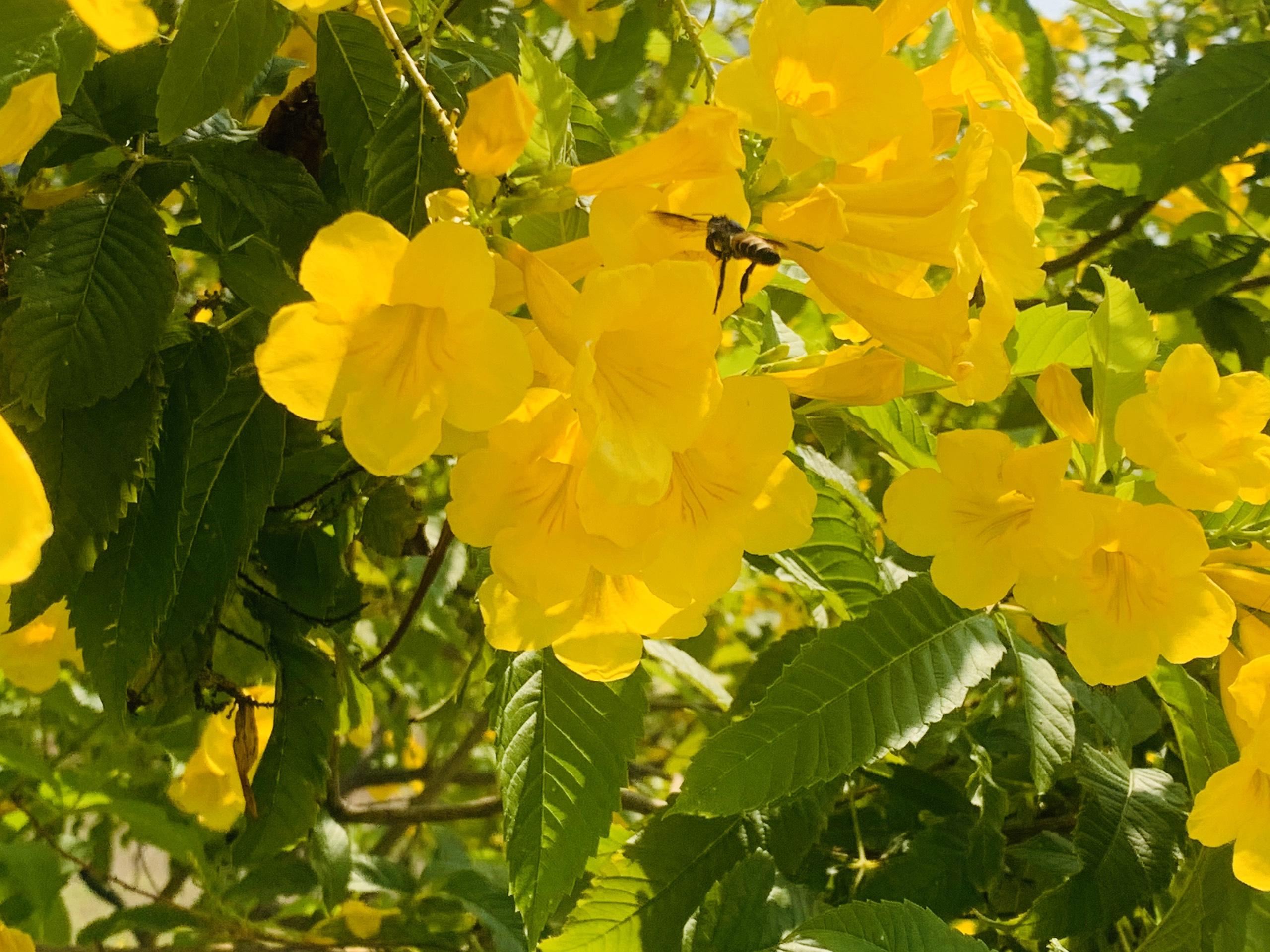 Rực rỡ sắc hoa huỳnh liên