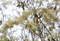 Hà Nội mùa hoa sưa
