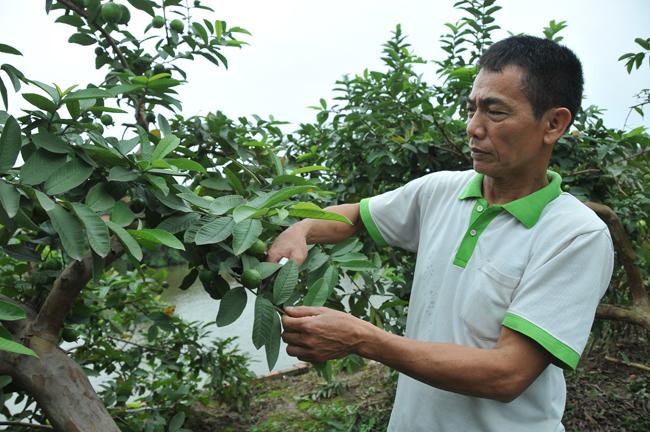 Đông Dư phát triển kinh tế từ trồng ổi găng