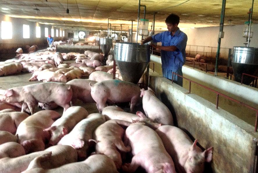 Thủ tướng Chính phủ chỉ đạo đẩy mạnh các giải pháp bình ổn giá thịt lợn