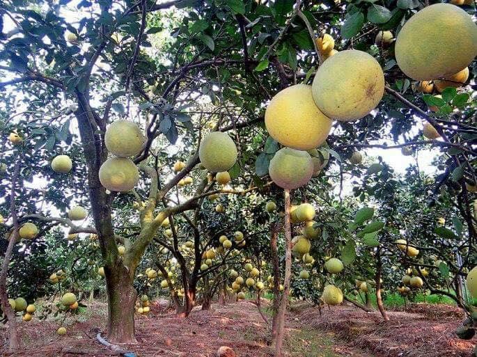 Sóc Trăng có 32 nghìn ha cây ăn trái