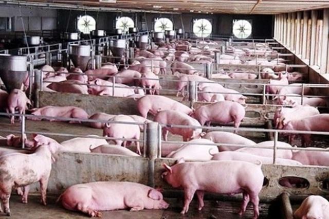Bổ sung kinh phí hỗ trợ các địa phương bị ảnh hưởng dịch tả lợn châu Phi