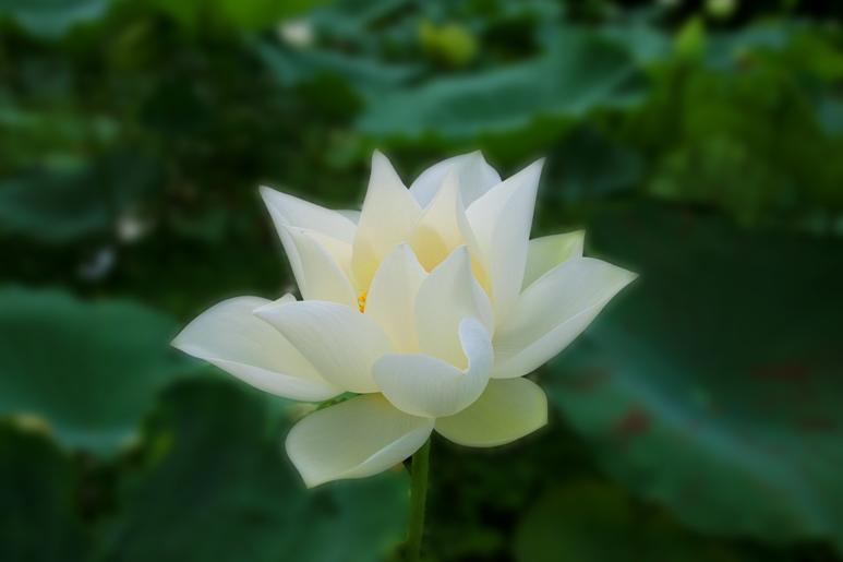 Vẻ đẹp thuần khiết của hoa sen trắng
