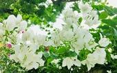 Dịu dàng vẻ đẹp hoa giấy