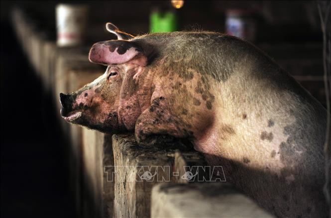 WHO Chủng virus cúm lợn mới công bố được nghiên cứu từ năm 2011