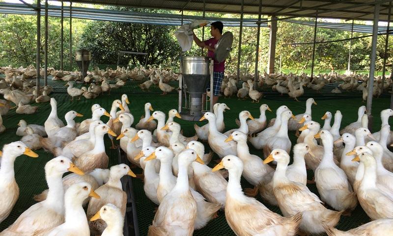 Vĩnh Long hướng tới ngành chăn nuôi phát triển bền vững