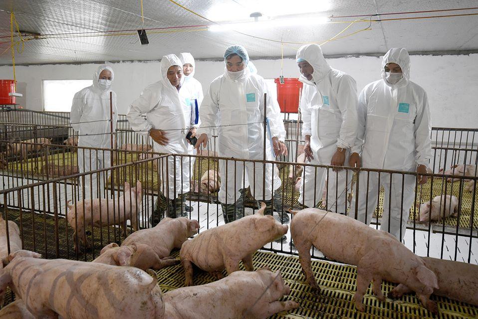 Cần tăng nhanh đàn giống để khôi phục chăn nuôi lợn