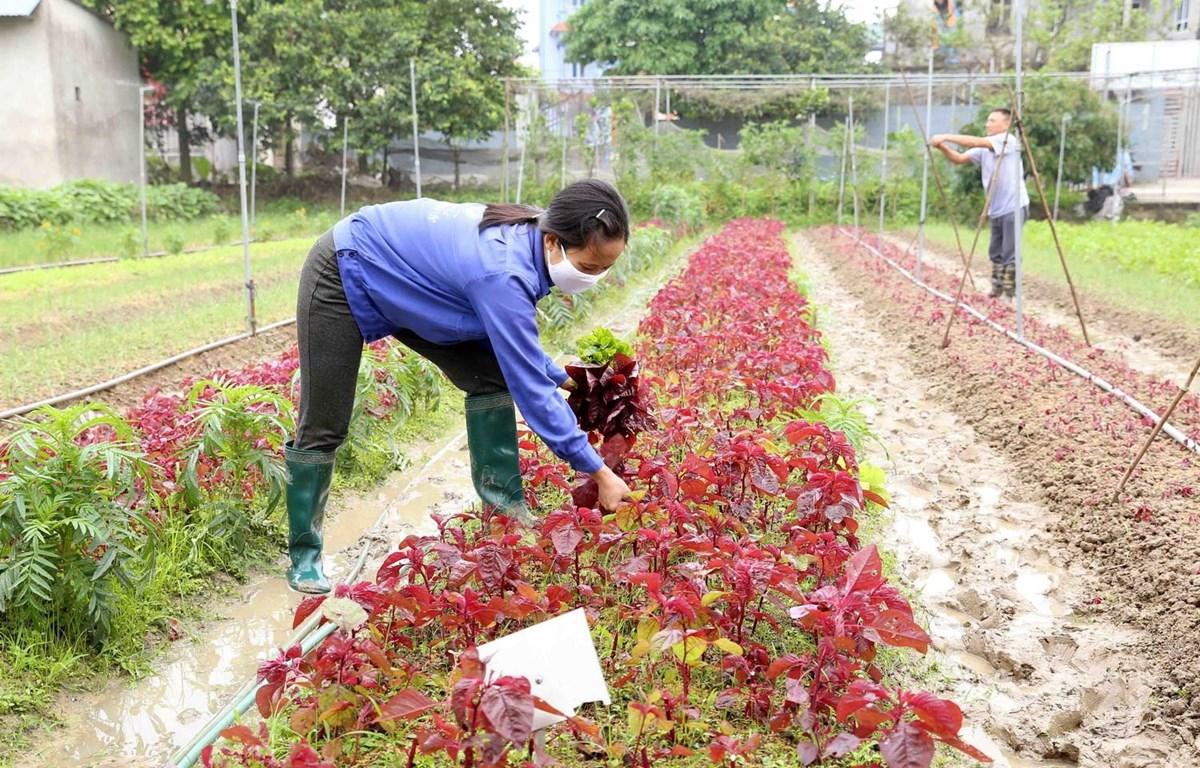 Hà Nội dự kiến mở rộng thêm từ 3 000 - 4 000 ha sản xuất rau an toàn