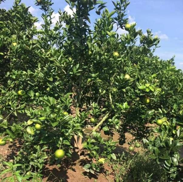 Đồng Nai Trên 5,6 nghìn ha bưởi đã cho thu hoạch