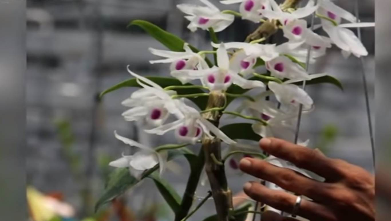 Đâu là giá trị thực của hoa lan đột biến?