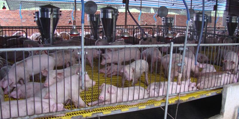 Đồng Nai phát triển ngành chăn nuôi lợn theo hướng bền vững