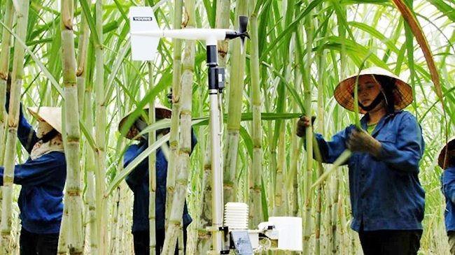 Tìm giải pháp gỡ khó cho ngành mía đường