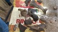 Phát hiện hóa thạch voi răng mấu 10 000 năm tuổi tại Colombia