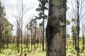Thái Lan Rừng trầm hương mất dần do biến đổi khí hậu