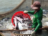 Đẩy mạnh việc tiêu thụ cá tra ở trong nước