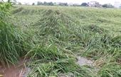 Nam Định Gần 12 nghìn ha lúa mùa và cây vụ đông bị ảnh hưởng do bão số 7      