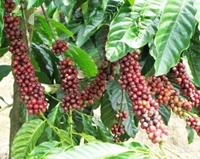 Xuất khẩu cà phê 10 tháng đạt hơn 2,3 tỷ USD
