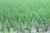 Vĩnh Phúc Phấn đấu tổng diện tích gieo trồng cây hàng năm đạt 38 500 ha trong vụ Đông Xuân 2020-2021