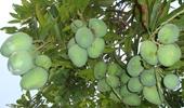 Nhiều loại trái cây ở Đồng bằng sông Cửu Long tăng giá