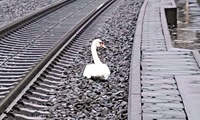 Đức Hơn 20 chuyến tàu bị hoãn do một con thiên nga