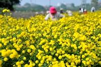 Vàng óng mùa hoa cúc chi làng Nghĩa Trai