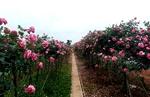 Rực rỡ sắc hoa hồng cổ ở Phù Vân