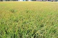 Tái cơ cấu ngành hàng lúa gạo để nâng cao giá trị gia tăng