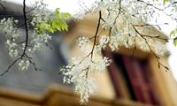 Hoa sưa nở trắng trời Hà Nội