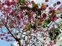 TP Hồ Chí Minh ngập sắc hoa kèn hồng