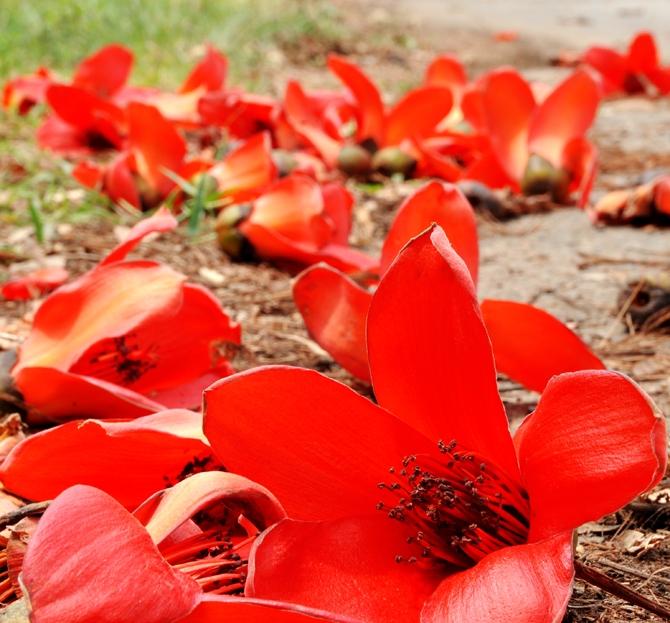 hoa gạo tháng ba
