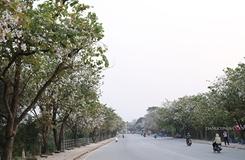 TP Điện Biên Phủ ngập tràn sắc hoa ban