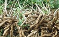 Xuất khẩu sắn và các sản phẩm từ sắn ước đạt 1,07 triệu tấn